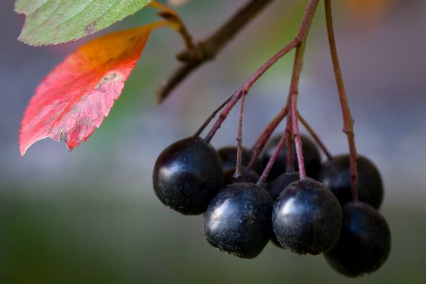 Photo: Αρώνια (black chokeberry), jvvirta/Flickr
