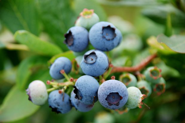 Photo: Μύρτιλλο (blueberry), organicblueberry.co.uk