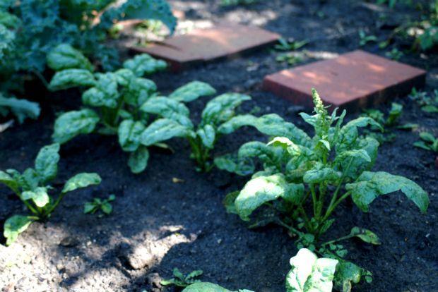 Νεαρά βλαστάρια από σπανάκι, ohmishka@Flickr