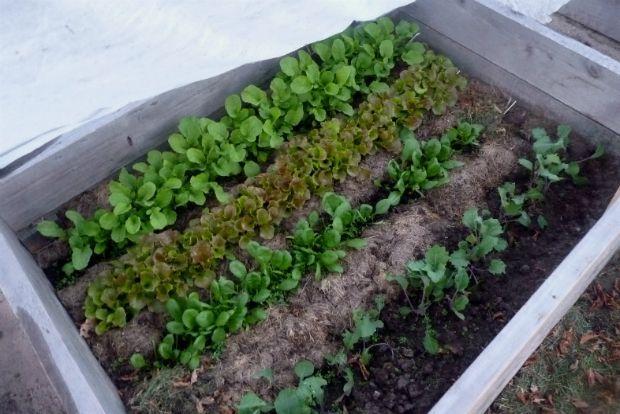 Μαρούλι σε προστατευμένο θερμοκήπιο, bettyongardening.com